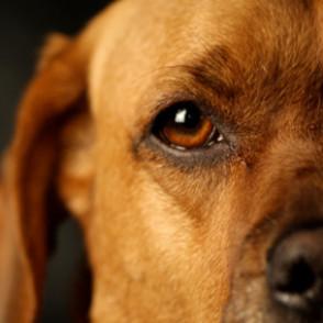 Canine-Ocular