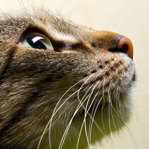 Feline-Ocular